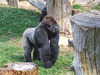 Silver Back Gorilla 2 - Jersey Zoo