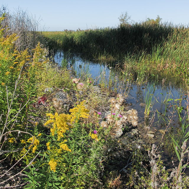 Go to WETLANDS to see goldenrod and thistle, if you are having a hard time finding them other places.