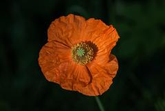 BESANCON: Une fleur orange.