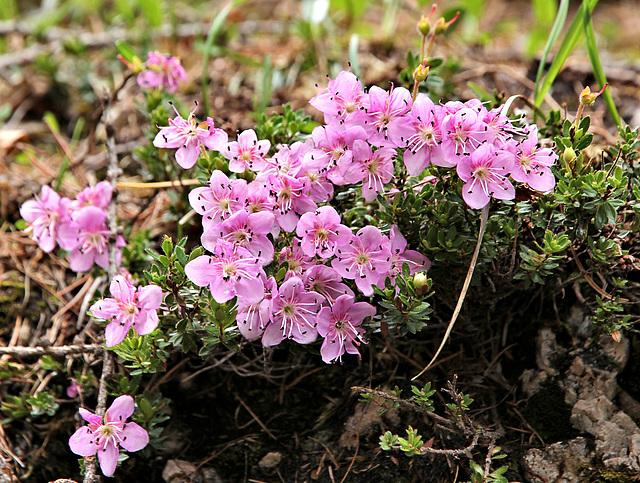 Zwerg-Alpenrose - Rhodothamnus chamaecistus