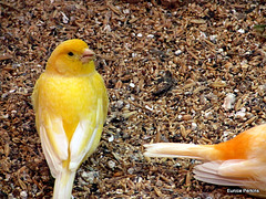 Canary With a Tail.
