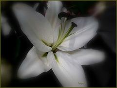 Lis oriental blanc .............Passez un bon dimanche !