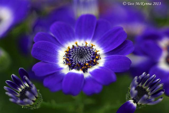 Cineraria (Senecio hybridus) 018 copy