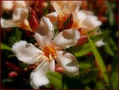 Laurier rose .............Bon dimanche *