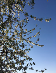 Du temps du cerisier en fleur
