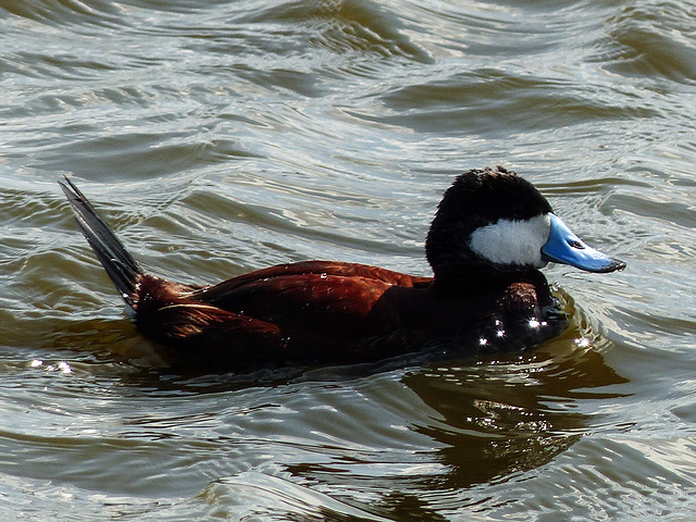 Ruddy Duck in choppy waters