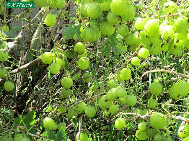 02 gooseberries