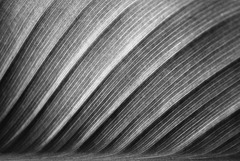 Abstract Canna in Black and White