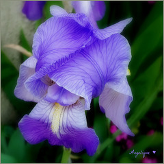 Excellente semaine à vous ! avec cet iris que je vous offre !