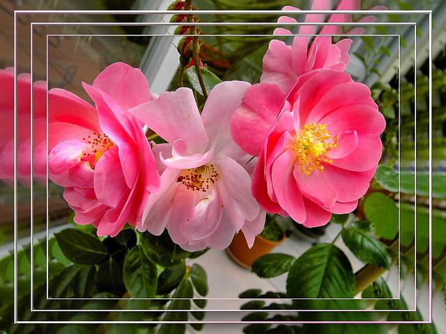 Mirroring roses... ©UdoSm