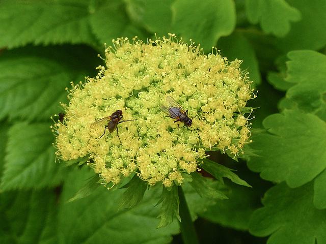 Yellow Angelica / Angelica dawsonii