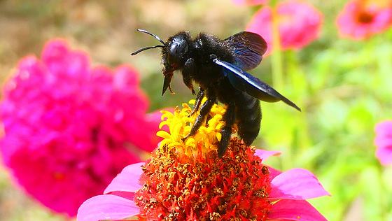 Les abeilles charpentières sont déjà là...