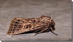 Tholera decimalis - femelle.
