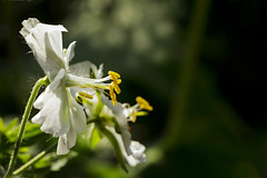 Stamens to the fore