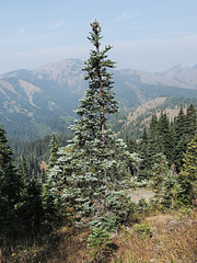A wild fir during wildfire smoke.