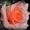 Vivement le temps des roses ..../ Highly the time of roses ...