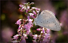 Holly Blue ~ Boomblauwtje (Celastrina argiolus)...