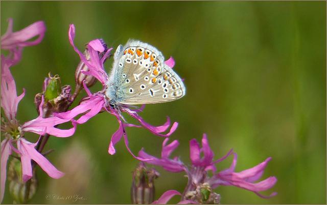 Common blue ~ Icarusblauwtje  (Polyommatus Icarus)...