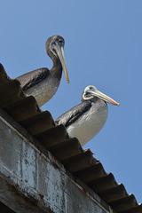 Lima, Playa Agua Dulce, A Couple of Pelicans