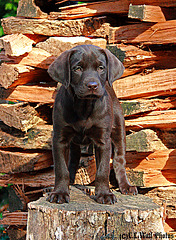 Puppy in the Woodpile