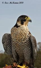 Peregrine Falcon Explore 1 063 copy