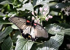 Tropen-Schmetterling
