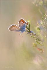 Silver-studded Blue ~ Heideblauwtje (Plebejus Argus)...