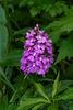 Platanthera grandiflora (Large Purple Fringed orchid)