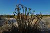 Euphorbia paralias, Monte Gordo beach