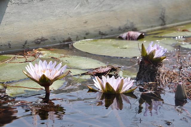 Nimfeoj. Okavango-Delto