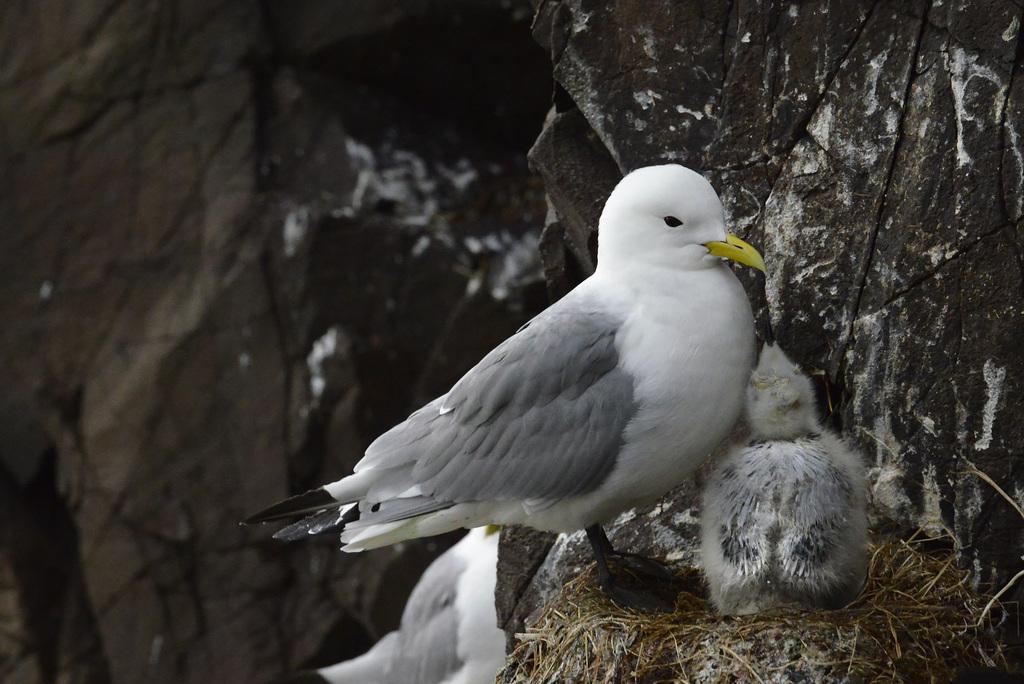 Larus glaucoides, Iceland gull  DSC3272