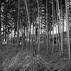 Young bamboos grow