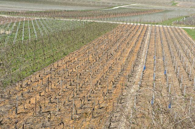 Vignes champenoises