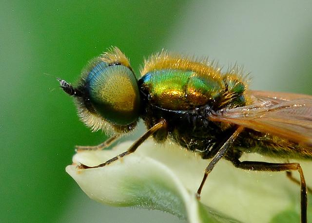 Soldier Fly. Chloromyia formosa