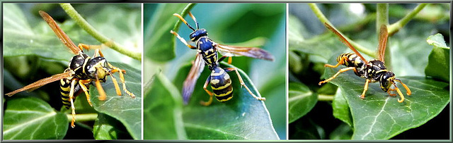 Collage -Wasp on foot... ©UdoSm