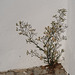 Erigeron bonariensis, Asteraceae