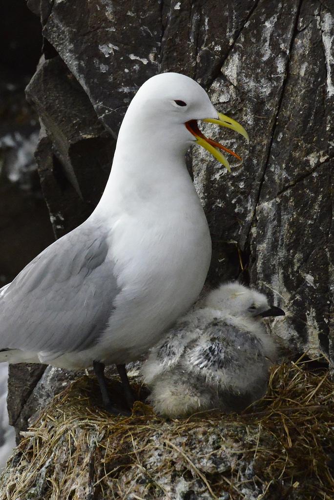 Larus glaucoides, Iceland gull  DSC3265