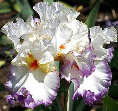 Iris...Pour ma nouvelle amie : Neira !