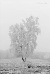 Birch Beauty...