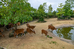 Banteng compound
