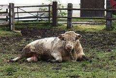 2 (41)austria mud bull