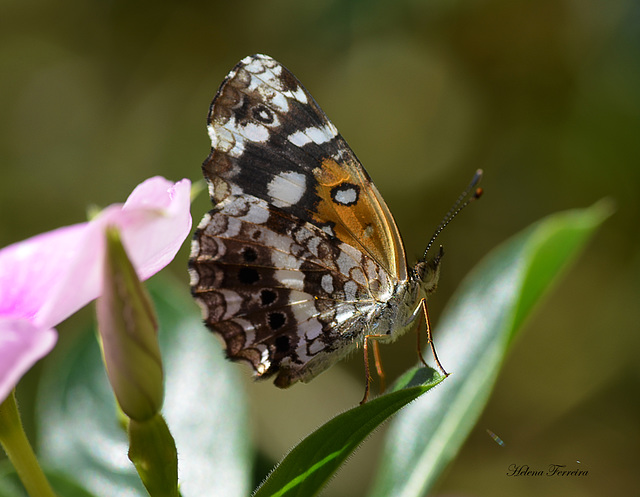 Small butterfly.