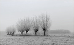 Pollard Willows in a Row...