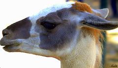 Lama au Parc animalier de Sidi bel Abbes.