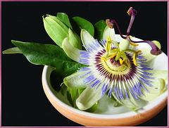 Passionsblume. (Passiflora). ©UdoSm