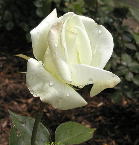 Une rose blanche emperlée de pluie