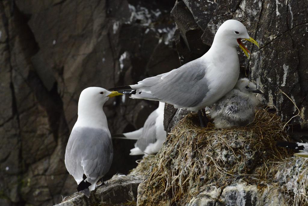 Larus glaucoides, Iceland gull  DSC3260