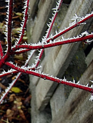Red branch dogwood