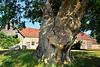 Old Man Oak