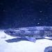 Kleingefleckter Katzenhai (Wilhelma)